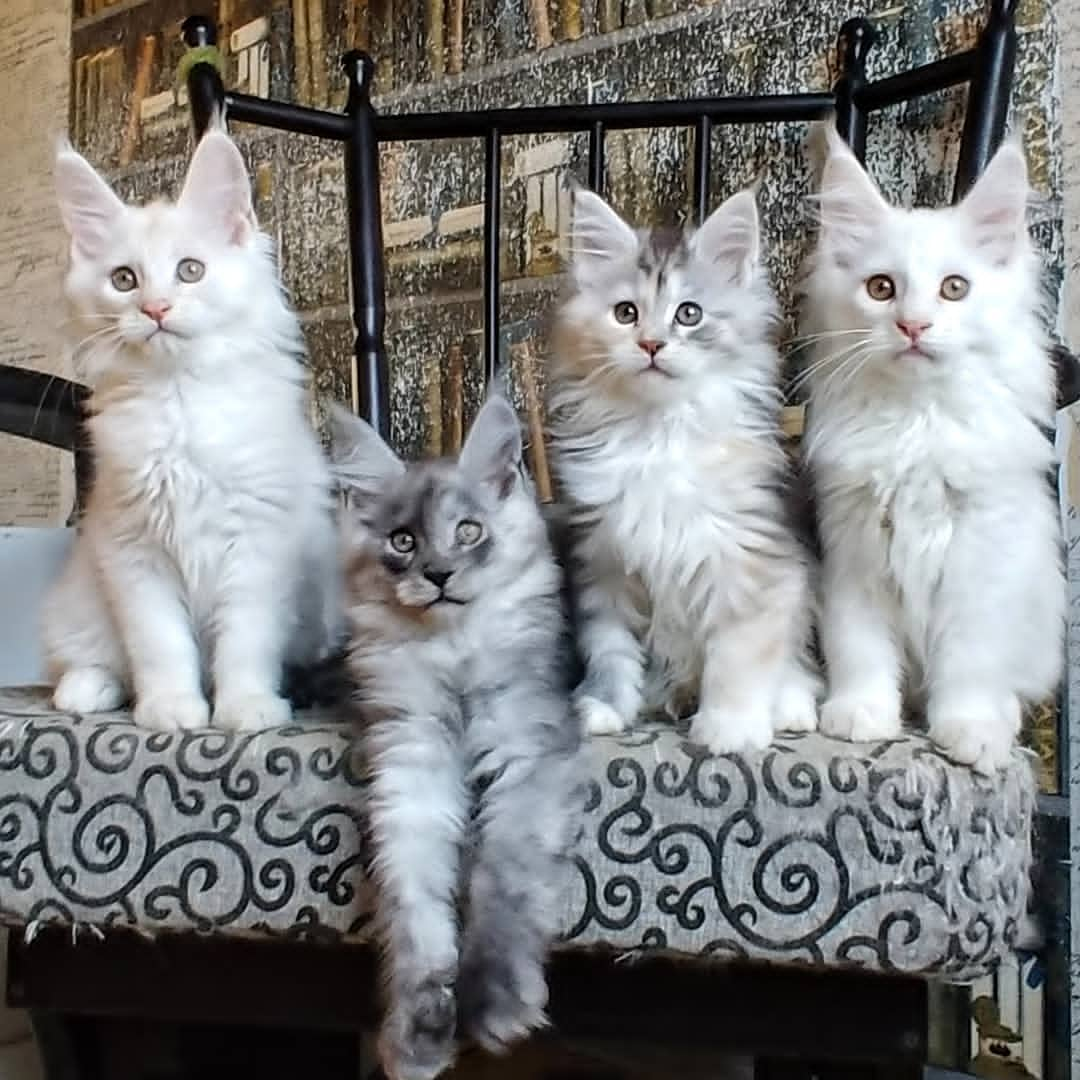 Available GCCF/TICA Registered Pedigree Maine Coon Kittens - Singapore Pets Listing | Sg Pets