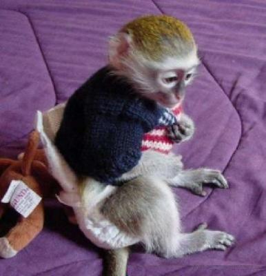 Male and female Capuchin and marmoset monkeys for adoption - Singapore Pets Services   Sg Pets