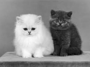 Beautiful Chinchilla Persian Kittens - Singapore Pet Classifieds | Sg Pets