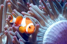 Clown Fish and Sea Anemone, Aquatic Pets, Singapore Pet Articles | Sg Pets